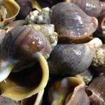 星鰈(ホシガレイ) 、ツブ貝